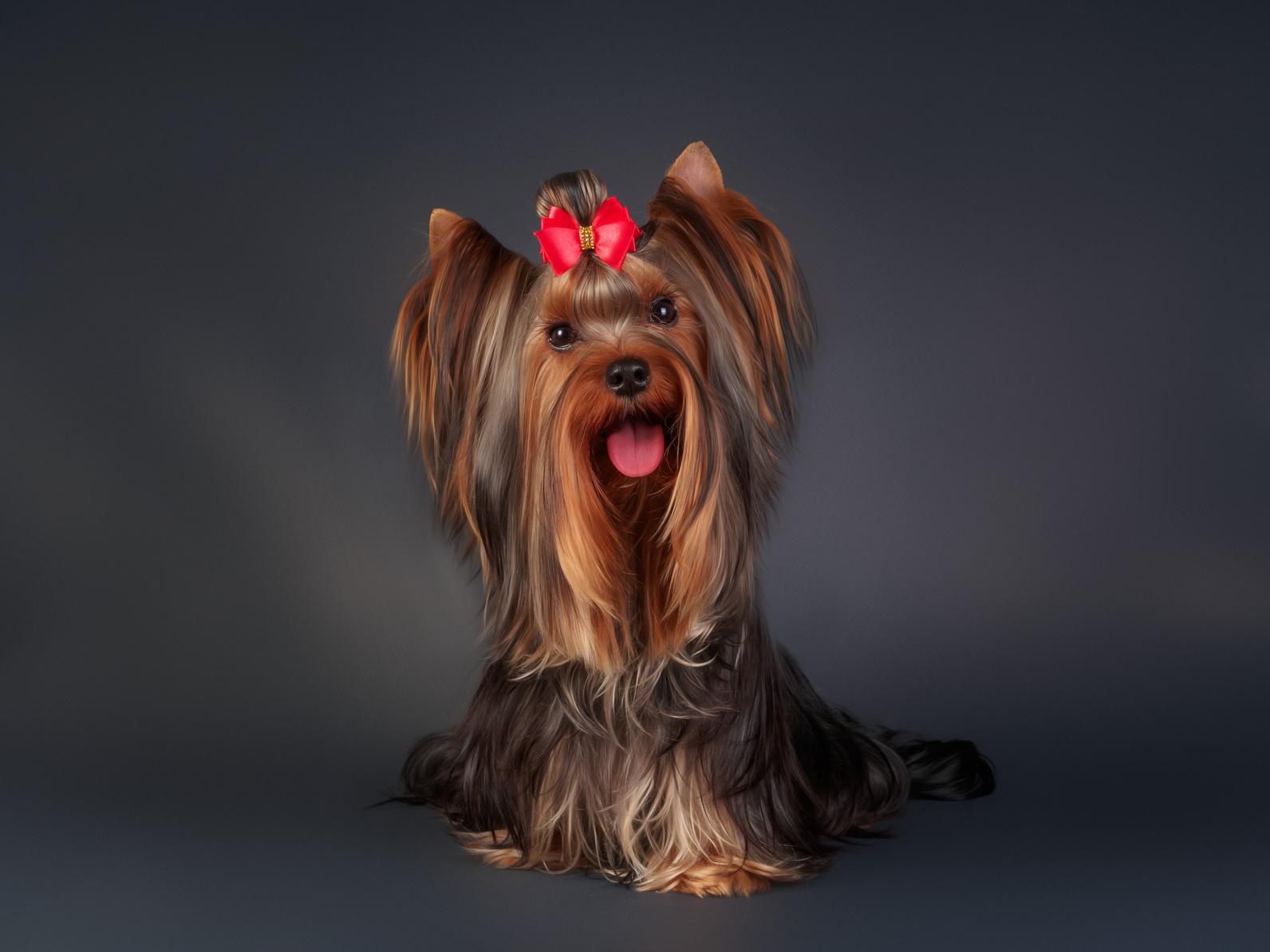 Encontro de Yorkshire Terrier