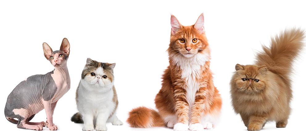 Mostra de Gatos de Raça